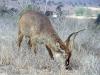 waterbuck-perhaps